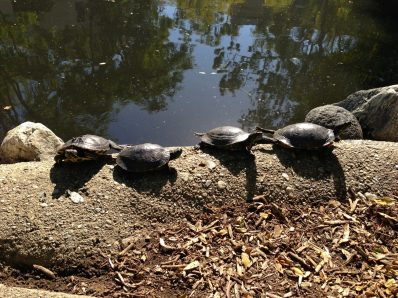 130130 We Have Joy, We Have Fun, We Have Turtles In the Sun (Turtle Pond, Caltech)